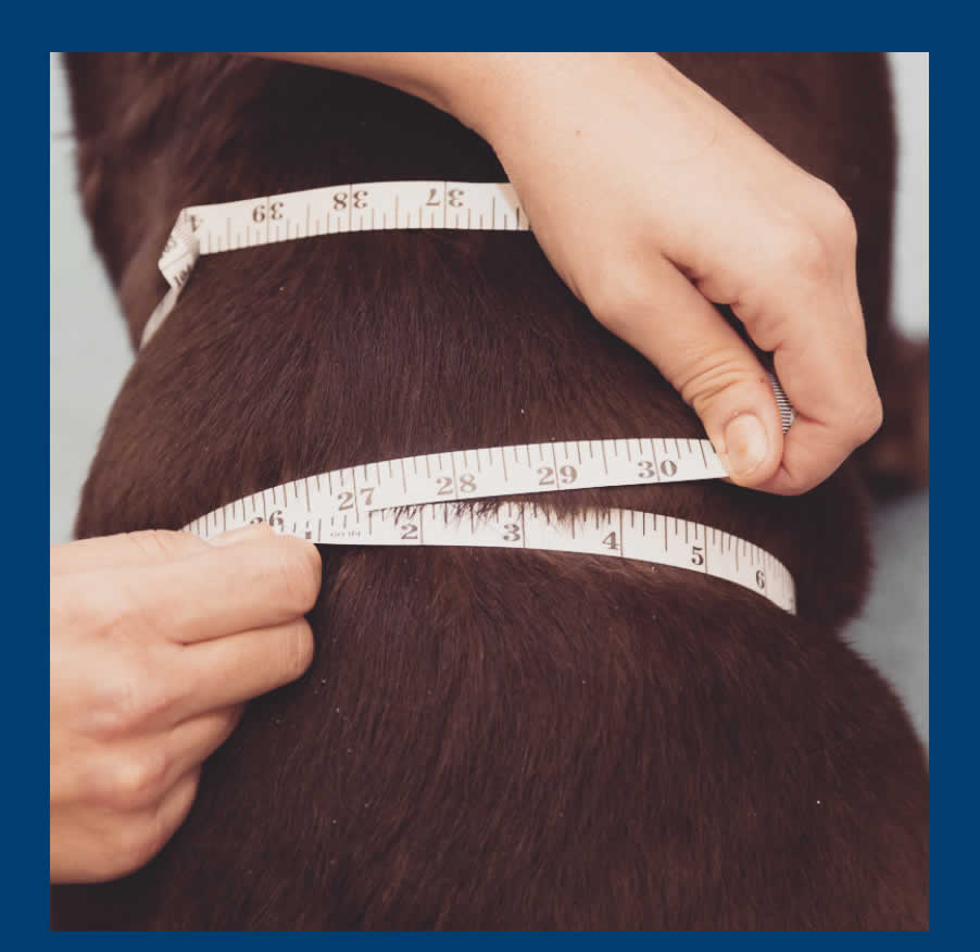 measuring fat dog