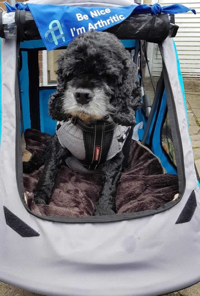 Dog Scooby in buggy at My Pets Vet Leigh
