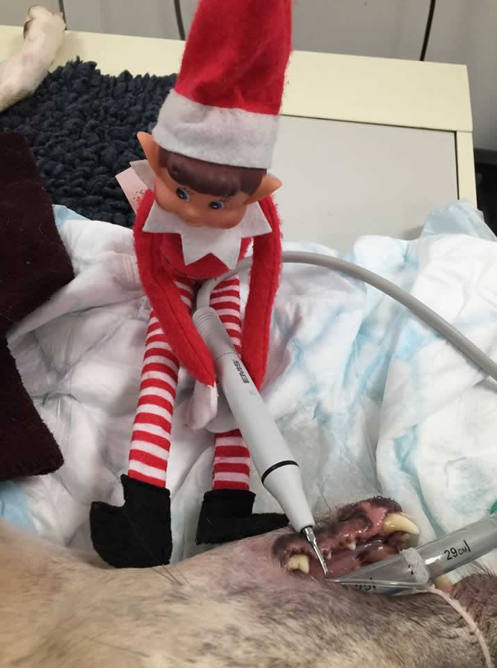 Elf at My Pets Vet Leigh
