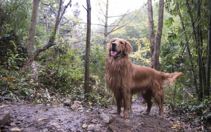 Retriever in a muddy wood My Pets Vet Ltd Leigh
