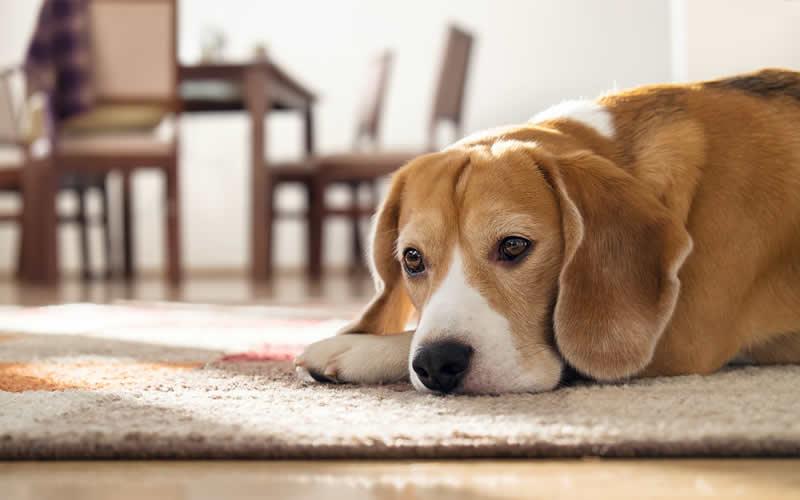 Sad beagle My Pets Vet Leigh